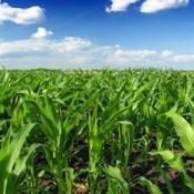 corn-field-farm-agriculture-335
