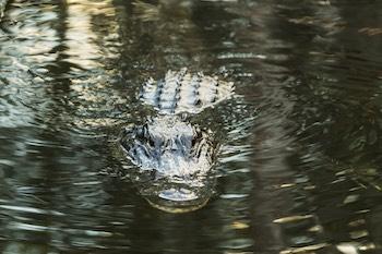 American alligator in the Florida Everglades.
