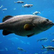 https://depositphotos.com/3370540/stock-photo-giant-grouper.html