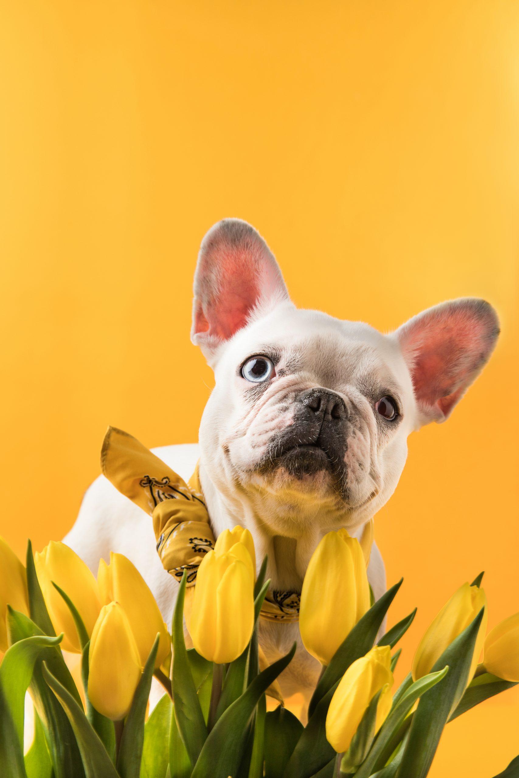 https://depositphotos.com/183110218/stock-photo-french-bulldog-dog-beautiful-yellow.html