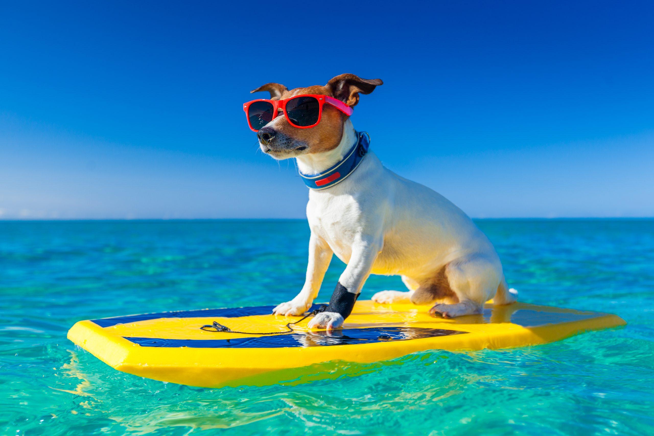 Barks and Bites - https://depositphotos.com/54663119/stock-photo-surfer-dog.html